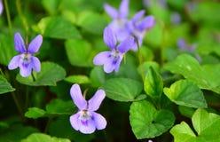 Violette wilde bloemen Royalty-vrije Stock Foto