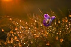 Violette wilde Blume Stockbild