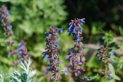 Violette wilde Blumen Das Feld mit violetten Farben Das Sommerfeld mit Blumen Stockfoto