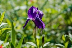 Violette wilde Blumen Das Feld mit violetten Farben Das Sommerfeld mit Blumen Stockfotos