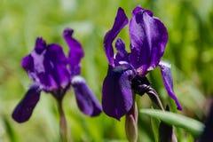 Violette wilde Blumen Das Feld mit violetten Farben Das Sommerfeld mit Blumen Lizenzfreie Stockfotos