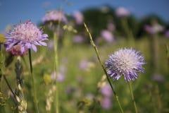 Violette wilde Kornblumen im grünen Gras lizenzfreie stockfotografie