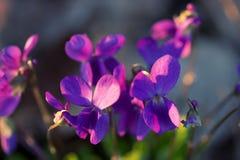 Violette wildflowers die het viooltje van Loke kijken stock afbeelding