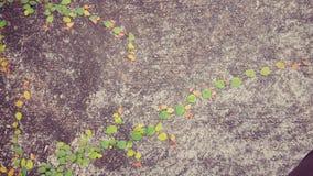 Violette Windenarvensis Stockbilder
