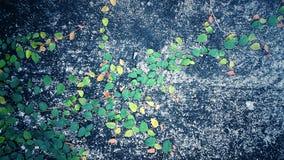Violette Windenarvensis Stockfotografie