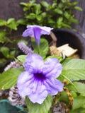 Violette Windenblume in einem Topf stockbild