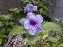 Violette Windenblume in einem Topf stockfotografie