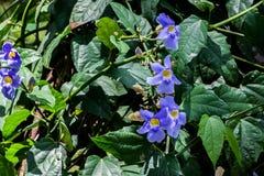 Violette wisteria royalty-vrije stock fotografie