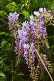 Violette wisteria in de tuin Royalty-vrije Stock Afbeeldingen