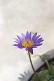 Violetter Blütenlotos im fishbowl Lizenzfreie Stockbilder
