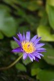 Violetter Blütenlotos im fishbowl Stockfotos