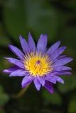 Violetter Blütenlotos im fishbowl Lizenzfreies Stockfoto