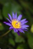 Violetter Blütenlotos im fishbowl Stockfotografie