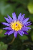 Violetter Blütenlotos im fishbowl Stockfoto