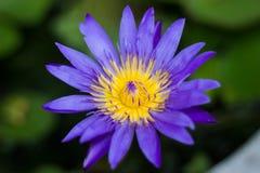 Violetter Blütenlotos im fishbowl Stockbild