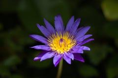 Violetter Blütenlotos im fishbowl Lizenzfreie Stockfotografie