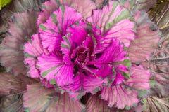 Violetter Kohl (Brassica Oleracea) Lizenzfreie Stockfotografie