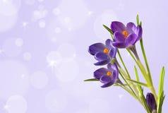 Violetter Krokus Stockbild