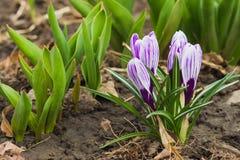 Violetter Krokus auf dem Blumenbeet, Weichzeichnungshintergrund Stockfotos