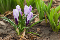 Violetter Krokus auf dem Blumenbeet, Weichzeichnungshintergrund Lizenzfreies Stockbild