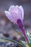 Violetter Krokus in den Wassertropfen lizenzfreies stockbild