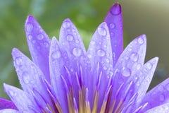 Violetter Lotos Stockfotografie