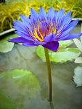 Violetter Lotos Lizenzfreie Stockfotografie