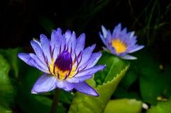 Violetter Lotos Lizenzfreie Stockbilder