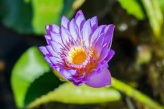 Violetter Lotos Stockfoto