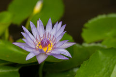 Violetter Lotos im Teich lizenzfreies stockfoto