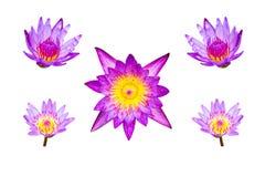 Violetter Lotos lokalisiert stockbilder