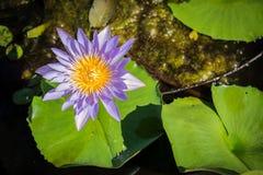 Violetter Lotos so schön lizenzfreies stockbild