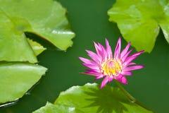 Violetter Lotos und grünes Blatt Stockfotos