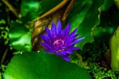 Violetter Lotos und grünes Blatt Lizenzfreies Stockbild