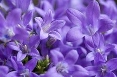 violetter malvenfarbener Campanula lizenzfreie stockfotografie