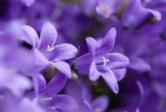 violetter malvenfarbener Campanula Lizenzfreies Stockbild