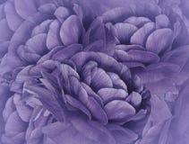 Violetter mit Blumenhintergrund Ein Blumenstrauß der purpurroten Blumen Nahaufnahme Blumencollage Tulpen und Winde auf einem weiß lizenzfreie stockfotos