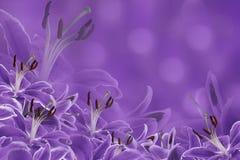 Violetter mit Blumenhintergrund Lilienblumen auf einem unscharfen bokeh Hintergrund Tulpen und Winde auf einem weißen Hintergrund Stockbilder
