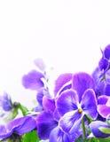 Violetter Pansy Lizenzfreies Stockfoto