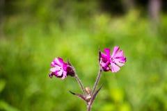 Violetter Schatten von Blumen auf einer Lichtung im Wald Stockfotografie