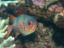 Violetter Soldierfish, Great Barrier Reef, Australien Stockfotos