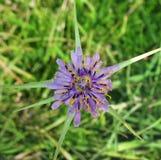 Violetter Stern Stockbild