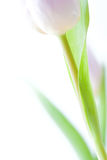 Violetter Tulpe de MIT de Hintergrund - Photo stock