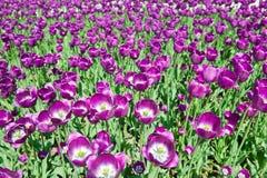 Violetter Tulpehintergrund Lizenzfreie Stockfotos