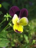 Violetter und gelber Pansy. Nahaufnahme Lizenzfreie Stockfotografie