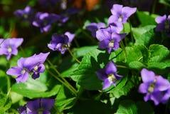 Violettes Photographie stock libre de droits