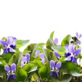 Violettes Image stock