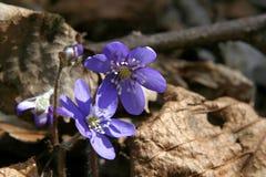 Violettes Photographie stock