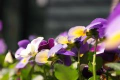 violettes image libre de droits