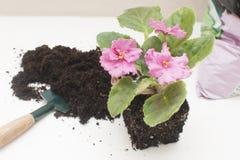 Violettes africaines de Saintpaulia Usines de transplantation, arrosant, fond blanc Photo stock
